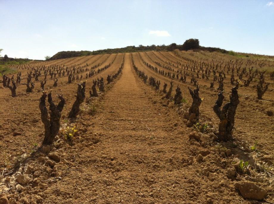 100 jaar oude wijnstokken in Rioja